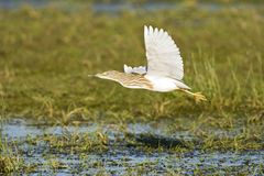 Ralreiger, Squacco heron, Ardeola ralloides royalty free stock image
