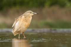 Ralreiger, Squacco Heron, Ardeola ralloides royalty free stock images