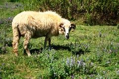 Ram在牧场地 库存图片