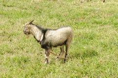 Ram山羊的边在象草的领域的 免版税库存图片