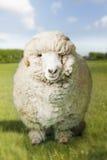 Ram в зеленом поле Стоковое Изображение