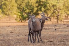 Ram и овца снежных баранов в колейности Стоковое Изображение RF