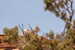 Ram и овца снежных баранов пустыни в колейности стоковая фотография