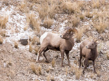 Ram и овца снежных баранов Стоковые Фотографии RF