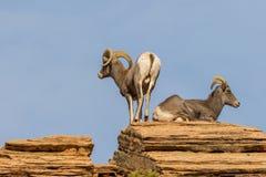 Ram и овца Bighorn пустыни в колейности Стоковое Фото