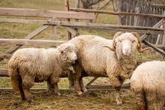 Ram и овцы на ферме Стоковые Фотографии RF