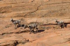 Ram и овцы Bighorn пустыни в колейности Стоковая Фотография RF
