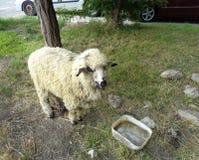 Ram прикрепился в штендер на крае дороги стоковое фото