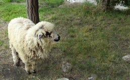 Ram прикрепился в штендер на крае дороги стоковая фотография