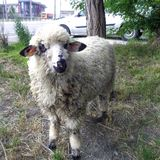 Ram прикрепился в штендер на крае дороги стоковые фотографии rf