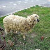 Ram прикрепился в штендер на крае дороги стоковые фото