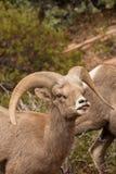 Ram снежных баранов пустыни в колейности Стоковое Изображение