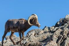 Ram снежных баранов пустыни в утесах стоковое изображение