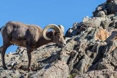 Ram снежных баранов пустыни стоковые фотографии rf