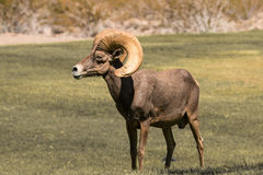 Ram снежных баранов пустыни Стоковое Изображение RF