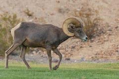 Ram снежных баранов пустыни Стоковая Фотография RF