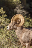 Ram снежных баранов пустыни Стоковое Изображение