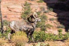 Ram снежных баранов пустыни Стоковые Изображения