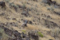 Ram снежных баранов стоковое фото