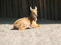 Ram头或石山羊 绵羊动物照片 库存照片