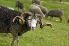Ram. A beautiful horned ram in a sheep flock in Chamrousse (France) in Summer royalty free stock photo