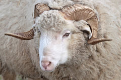 Ram. Portrait of a ram with horn Royalty Free Stock Images