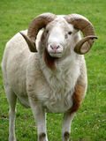 Ram. Big ram with curly horns stock photo