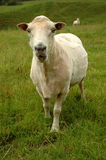 Ram Imagens de Stock Royalty Free