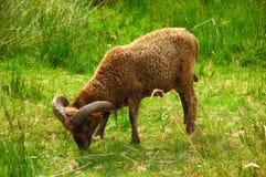 Ram. stock foto's