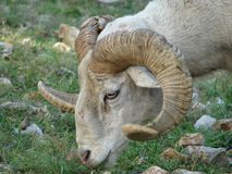 Ram. This is a closeup of a ram Royalty Free Stock Photos