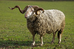 Ram. Full view of a ram on a summer pasture royalty free stock image