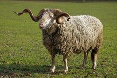 Ram Royalty Free Stock Image