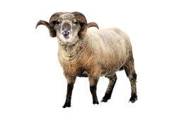 Ram. Isolated on white background stock image