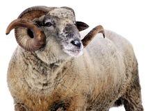 Ram. Isolated on white background royalty free stock images