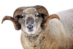 Ram Royalty Free Stock Photos