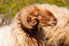 The ram Royalty Free Stock Photo