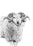 The Ram Royalty Free Stock Images