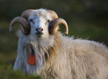 Ram. Huge male ram looking at you stock image
