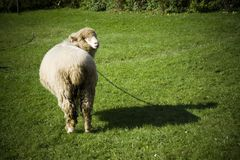 Ram. Cute ram from behind on green grass Royalty Free Stock Photos
