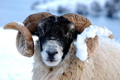 Ram. Portrait of a ram in the Scottish Highlands stock photos