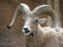 Ram Royalty Free Stock Photo