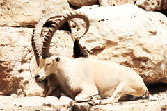 Ram with huge round horns Stock Photo