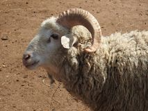 Ram of ancient breed of long-tailed sheep portrait sideview stock photo
