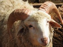 Ram of ancient breed of long-tailed sheep portrait sideview stock images