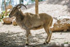 Ram At Zoo Royalty Free Stock Photos