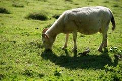 Ram auf der grünen Wiese stockbilder