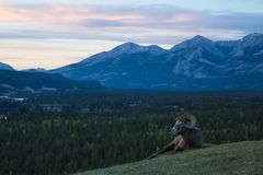 Ram auf Hügel bei Sonnenuntergang Stockbild