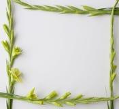 Ram av blommagladiolusen på vit bakgrund Lekmanna- lägenhet, bästa sikt arkivbild