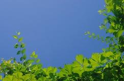 Ram av den boston murgrönan Arkivfoton