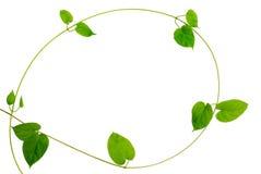 Ram av denformade gröna bladvinrankan på vit bakgrund Royaltyfri Fotografi